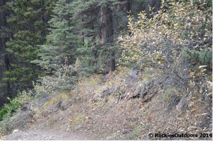 Spot the Spruce Grouse!